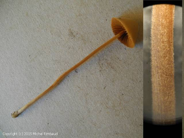Conocybe digitalina (Conocybe_digitalina_2015_mr_1.jpg)
