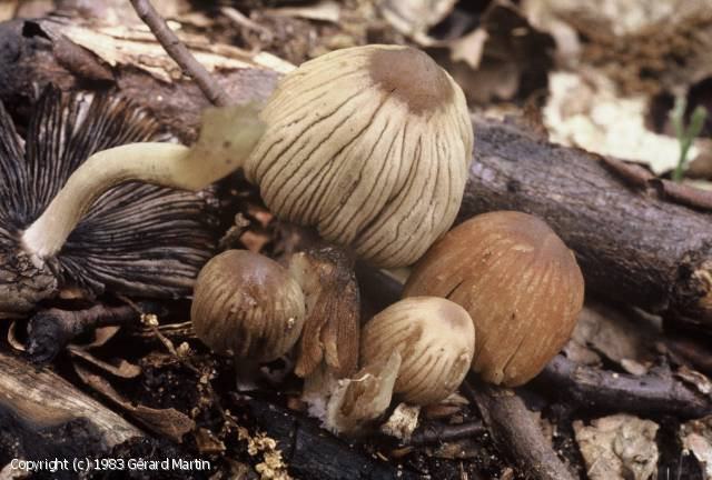 Coprinellus angulatus (Coprinellus_angulatus_1983_gm_1.jpg)
