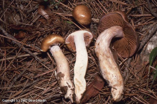 Cortinarius largodelibutus (Cortinarius_largodelibutus_1992_gm_1.jpg)