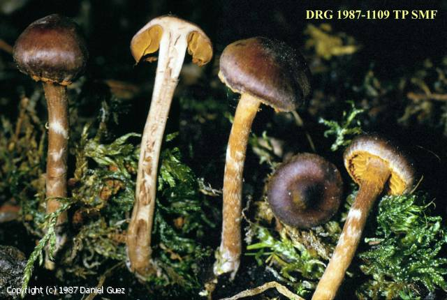 Cortinarius sertipes (Cortinarius_sertipes_1987_dg_1.jpg)